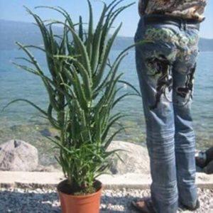 Aloe Arborescens 5 Jahre 3
