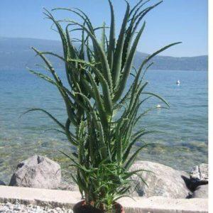 Aloe Arborescens 5 Jahre2