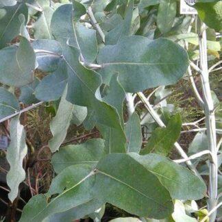 Blauer Eukalyptus