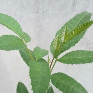 Brasilianischer Pfefferbaum