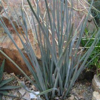 Strelitzia Juncea
