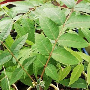 Chinesischer Gemuesebaum1