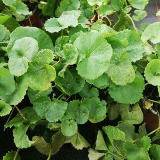 Anti-Aging Pflanzen