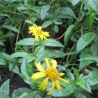 Ayurvedische Pflanzen