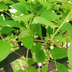 Schisandra Kletterpflanze winterhart