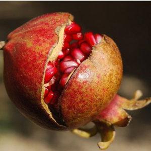 Granatapfel Punica granatum